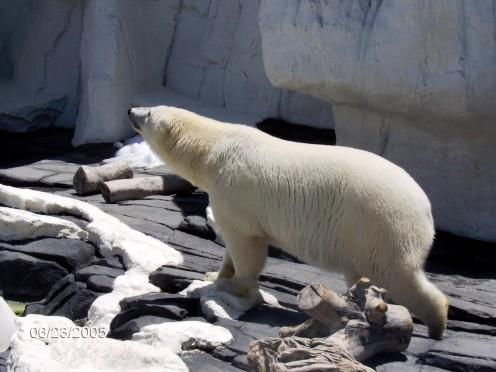 Polar Bear.  Such a beautiful creature.