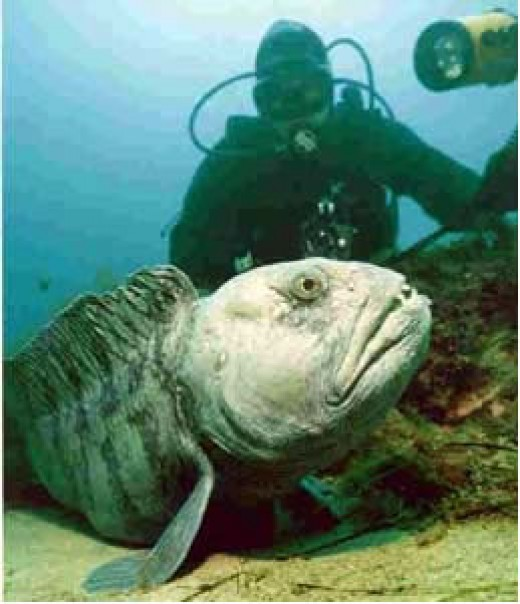 7. Atlantic Wolffish