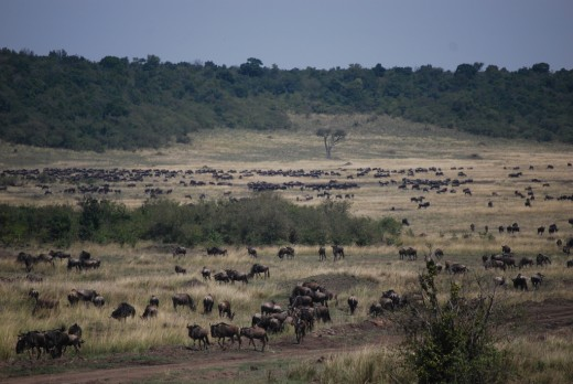 The Masai Mara migration has exceptional population of millions of zebras, Thomson's gazelles and wildebeests from the Serengeti.