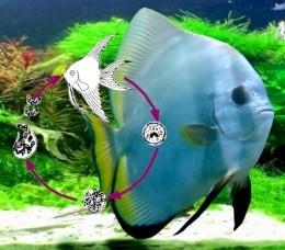 aquarium parasite