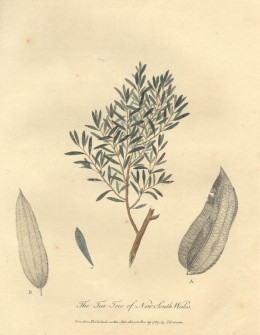 "Drawing of the tea-tree, from the 1790 book, ""Journal of a Voyage to New South Wales"" by John White."