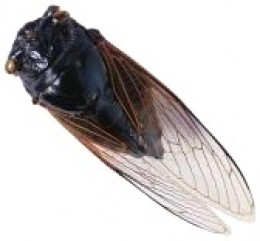 A typical cicada can be one inch long
