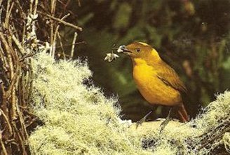 The golden bowerbird tends his bower throughout the year, constantly tidying and adding to it. Image © Nemingha 2009.