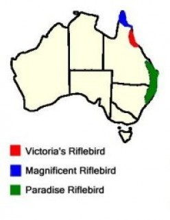 Small Birds of the Australian Tropical Rainforests