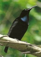 The male magnificent riflebird has a striking metallic blue-green inverted triangle on his chin. Image © Nemingha 2009.