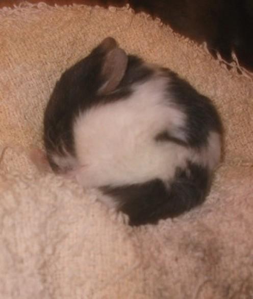 Symptoms of Poor Hamster Health or Illness