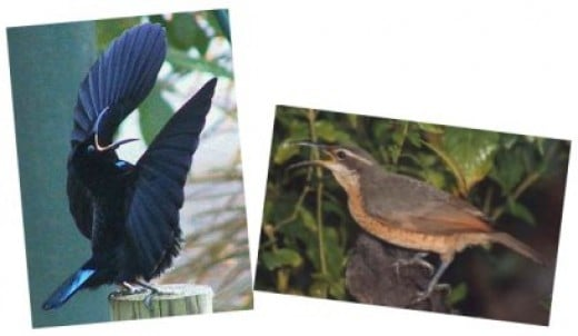 When displaying, the male Victoria's riflebird (left) perches on a stump and curves his wings above his body and tilts his head back, swaying and pivoting backwards and forwards. Images www.wikimedia.com.