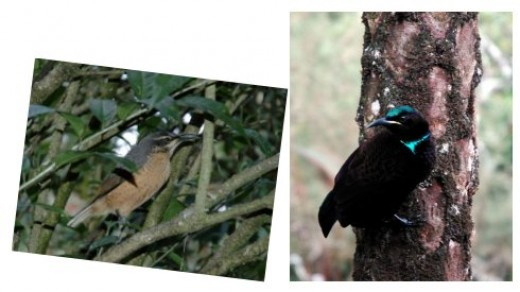 A female (left) and male paradise riflebird. Images by Ken Clifton @ www.ozanimals.com.
