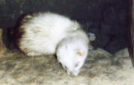 Ferret In Coal Bunker