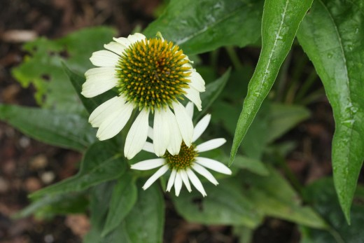 Coneflower (white swan)