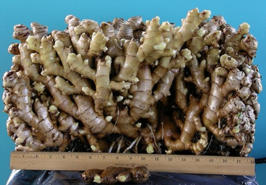 A extremely large growth of ginger.