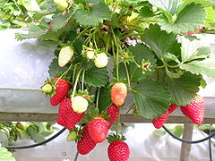 Immature, green, and ripe strawberries