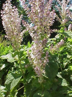 Clary sage oil: the health and aromatherapy benefits of clary sage essential oil