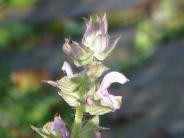 Clary sage plant in full flower. Photo (c) Kurt Stueber www.biolib.de licensed under Creative Commons Attribution-Share Alike 3.0.