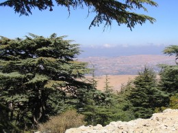 A Lebanon Cedar tree in the Barouk Forest, Lebanon. This image is in the public domain.