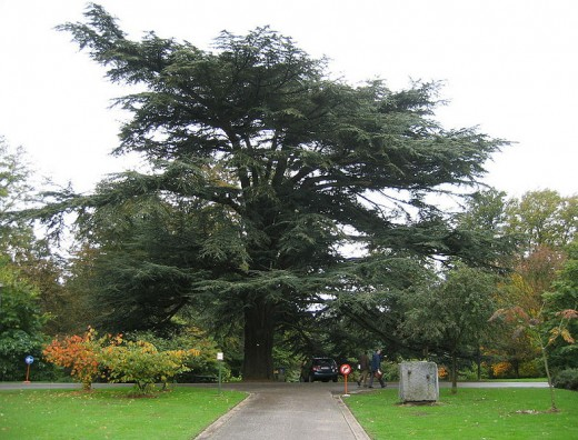 An Atlas Cedar tree. This image is in the public domain.