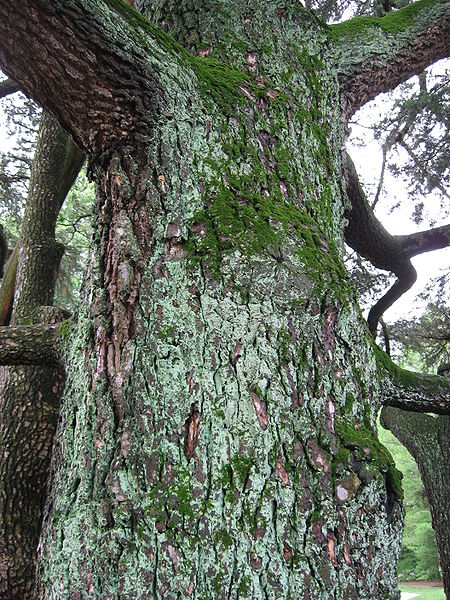 A close-up photo of the bark on a cedar tree. This image is in the public domain.