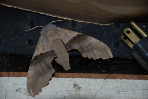 The big poplar sphinx moth has a distinctive coloration and wing shape.