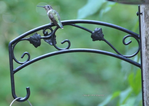 A hummingbird rests on a plant hanger.