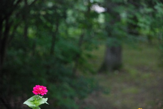 A lone zinnia adds a dash of bright color to the dark woods in the background.
