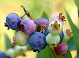 "Ripe, ripening, and ""green"" blueberries. The dark blue berries are ripe, the lavender are approaching ripeness and the pale green are immature"