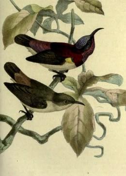 Sun-birds