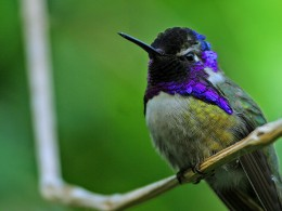 Hummingbird - courtsey of PD Photo.org