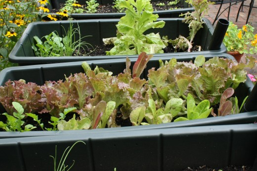 Lettuce & Arugula