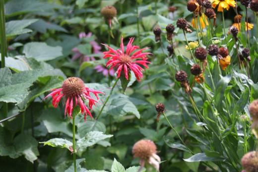 Bee Balm, Coneflowers & Sneezeweed
