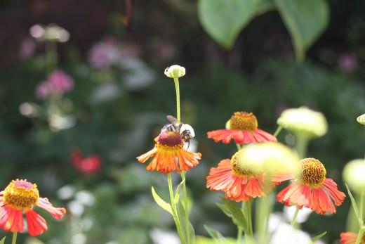 Bumblebees like Sneezeweed!
