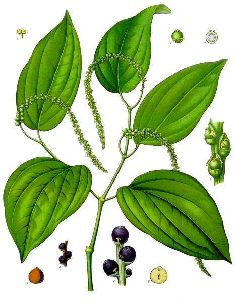 "Botanical drawing of black pepper, from Koehler's ""Medicinal Plants"" (1887)"