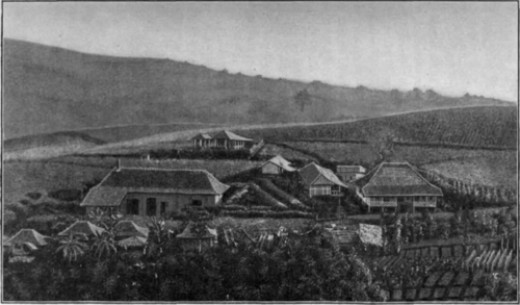 1907 photograph of a citronella oil plantation in Java.