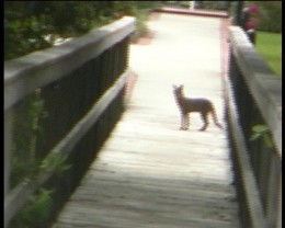 Fox on dock. Lake Davenport Orlando