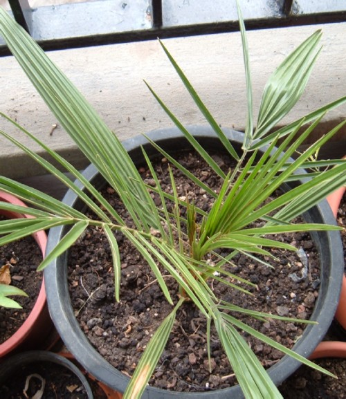 Canary Date Palm grown from seed