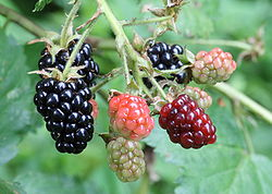 Blackberries. From left to right, ripe, ripening, and immature (green).