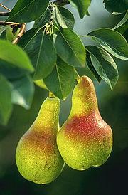 European Pear