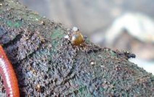 Eisenia Foetida Egg