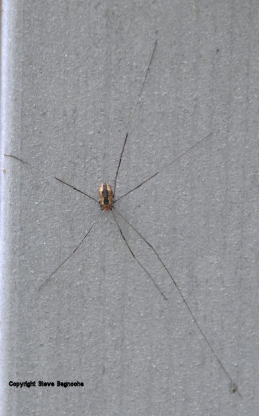 Spiders are an unsurprising creature of the wooded yard.Daddy Longlegs like seen  here on a banister of the house, aren't really spiders -- they only have six legs; spiders have eight.