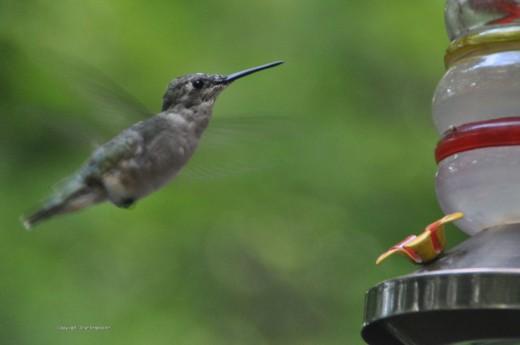 A female ruby throated hummingbird hovers near a feeder.