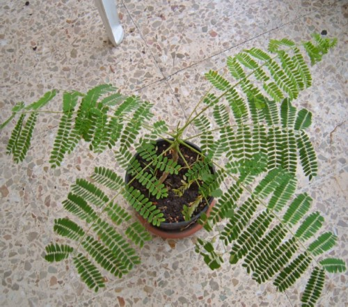 Poinciana grown from seed