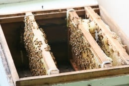 Bees working in the hive.  Photo by Kgtoh at Dreamstime.com