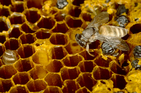 Bees filling combs with honey and emerging from honeycombs.  Photo by Jeridu at Dreamstime.com