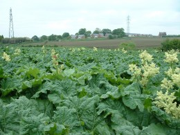 A field of rhubarb. Courtesy of: http://www.herbsphere.com/rhubarb111.jpg
