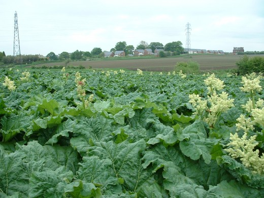 A field of rhubarb. Courtesy of: http://www.herbsphere.com/rhubarb111.jpg