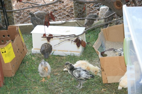 """Top Hats and Quail co-habitating in Habitat I, next step, Quail will be released into the environment in two weeks, """"Top Hats"""" a couple weeks later."""
