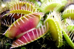How to Care for Venus Fly Traps