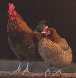 Rooster and hen; chicken.