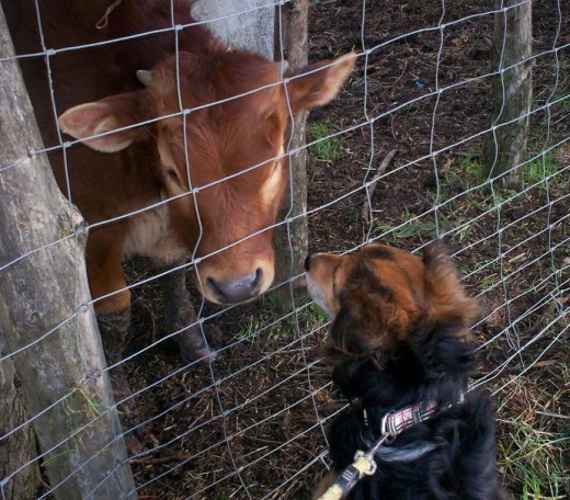 Barney kissing a calf
