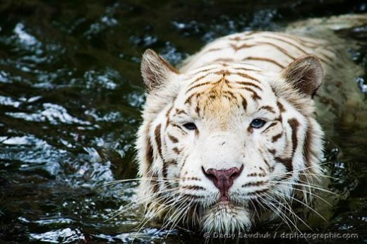 deformed white tiger pictures. Tigers keep their young with