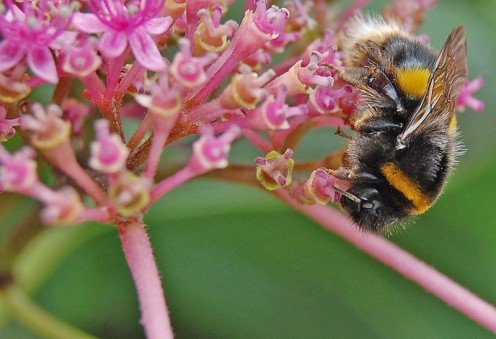 White Tailed Bumblebee.